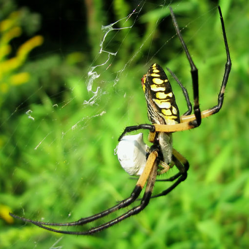 writing spider Crown pest control family owned