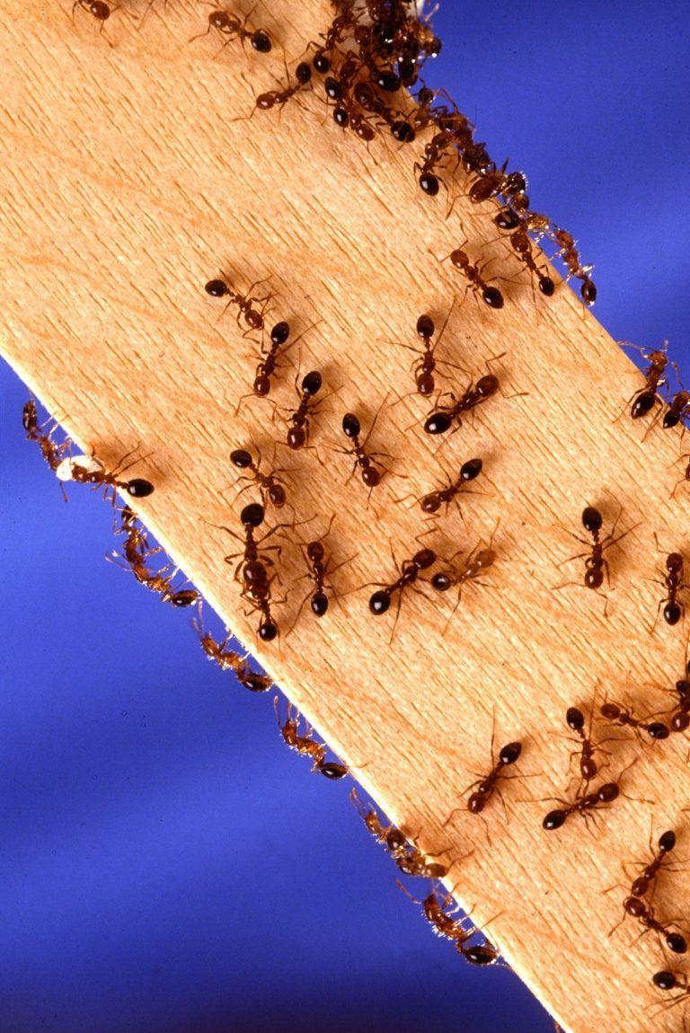 large red ants north carolina
