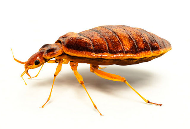 bed bug Crown pest control family owned