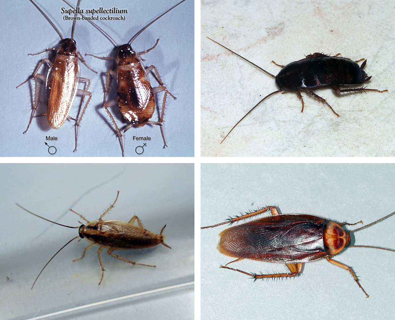 types of cockroach in north Carolina