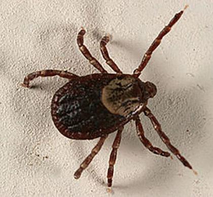 brown tick crown pest control