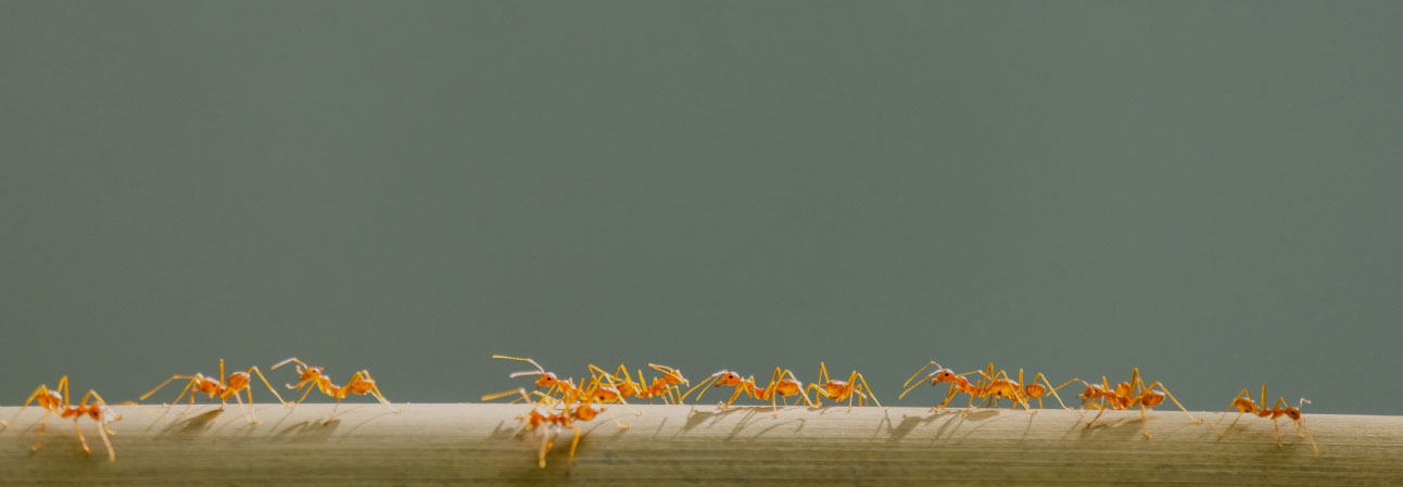 Why do ants keep coming back?