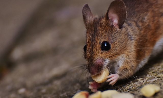 Rodent removal in Charlotte