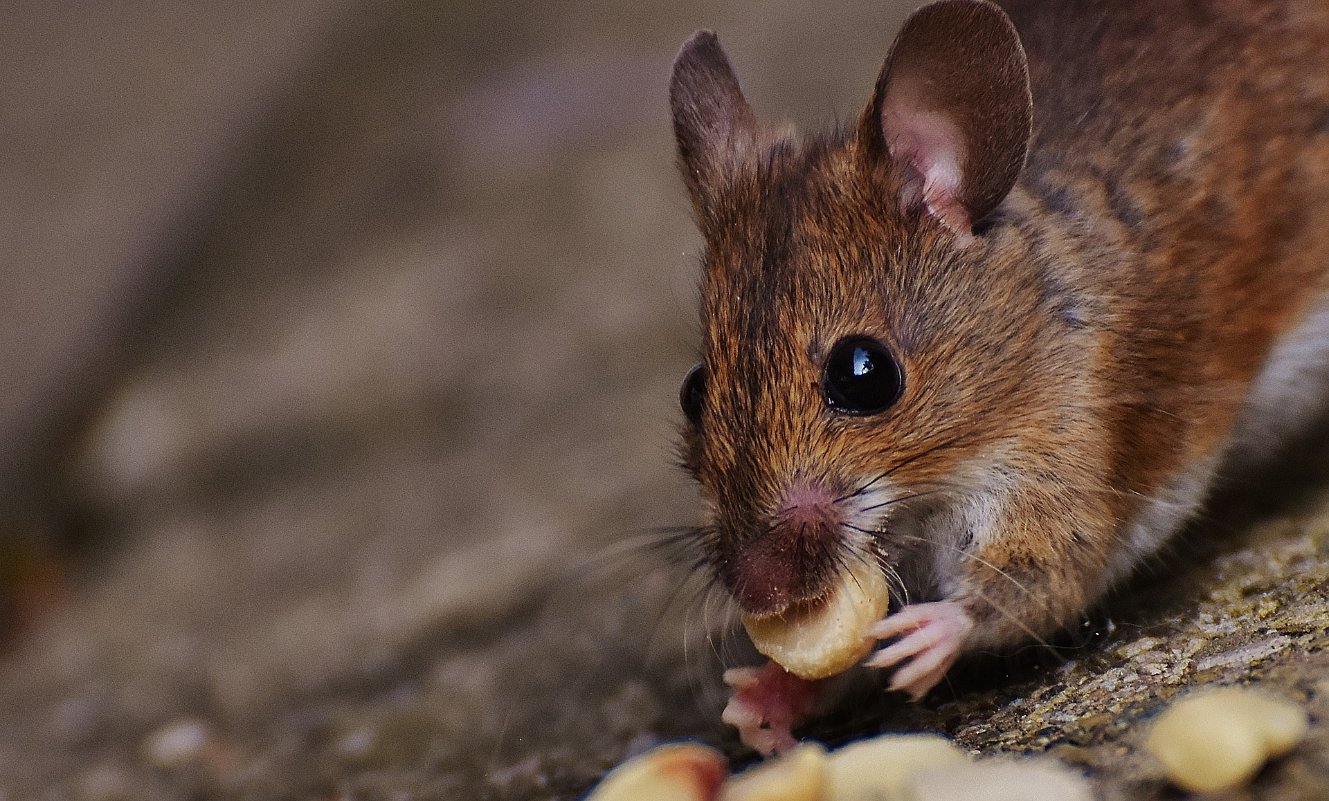 Wild rodents Pest Control
