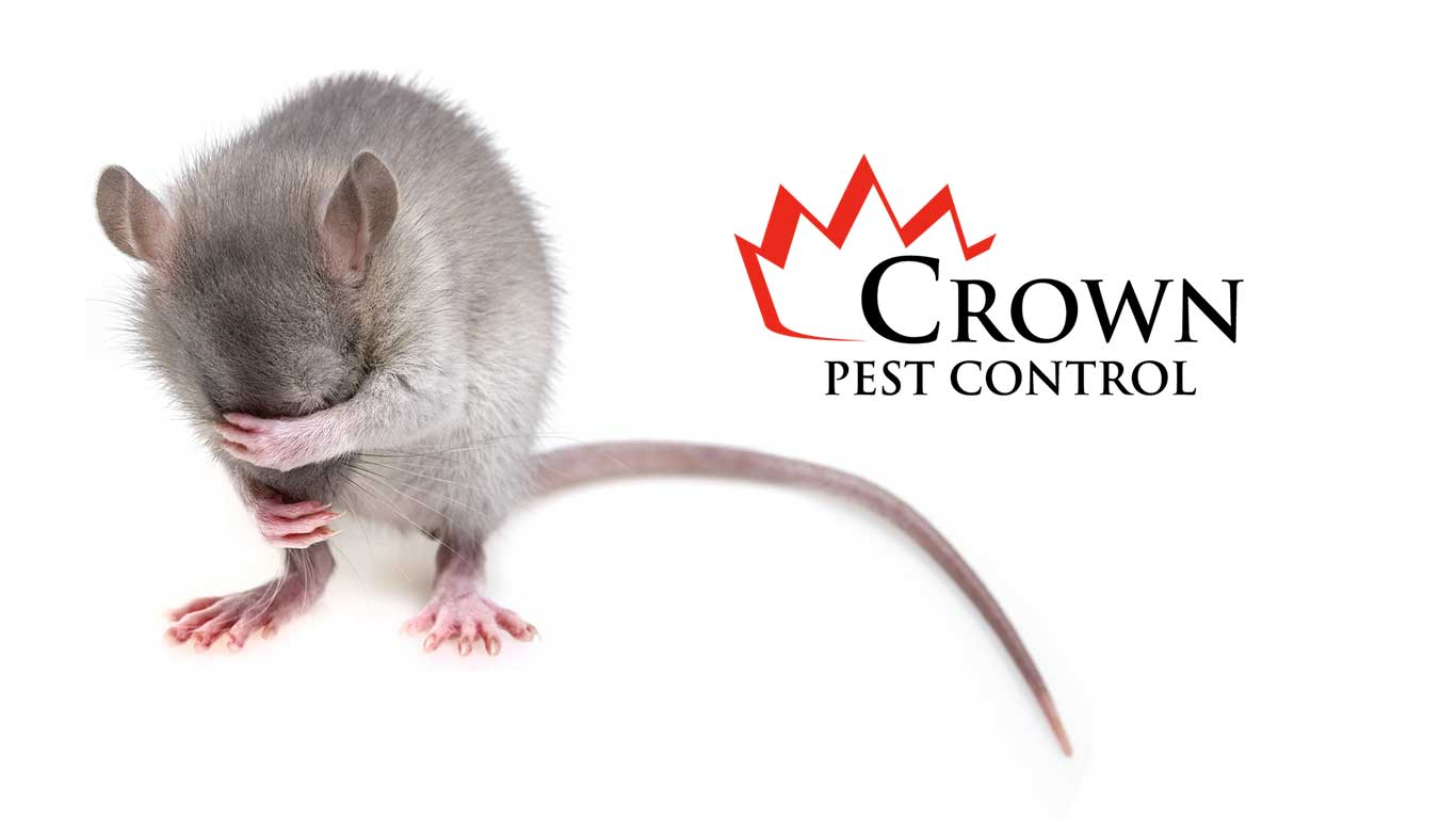 Mice removal Crown Pest Control