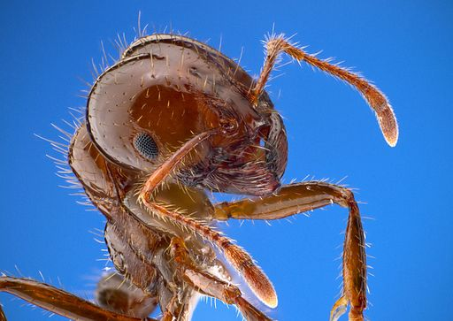 Solenopsis invicta fire ant worker