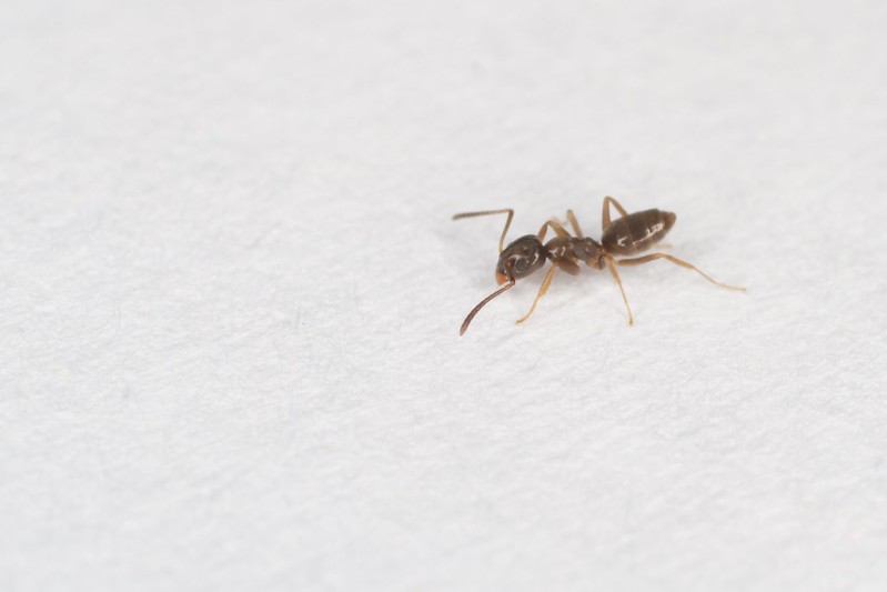 odorous or sugar Ant