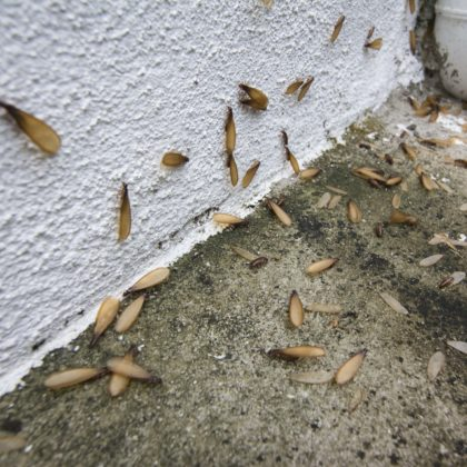 termite swarmers Charlotte NC