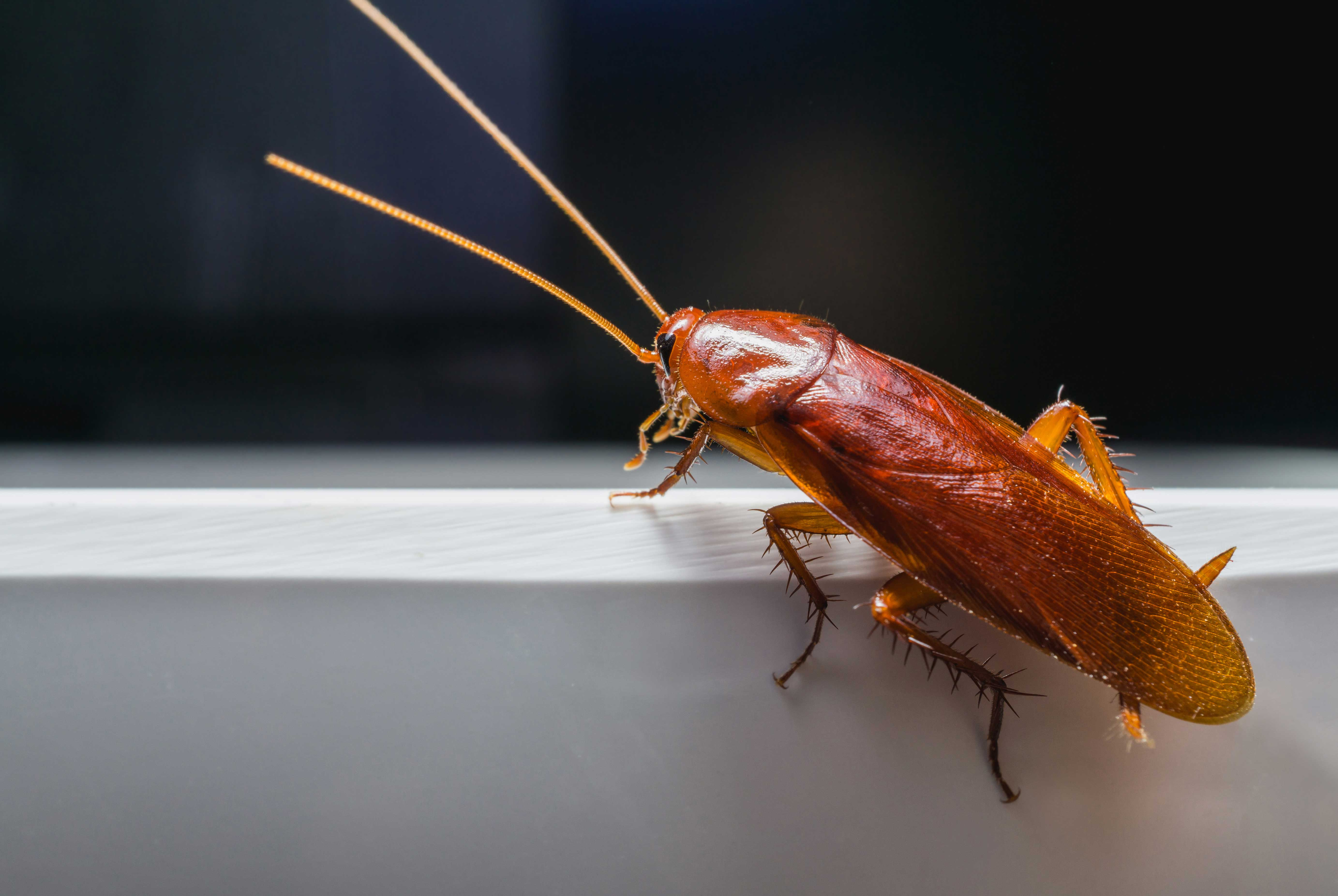 Cockroach Indian Land
