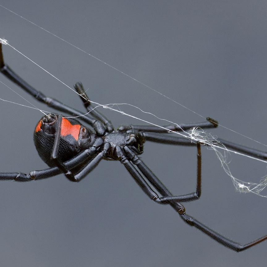 black widow latrodectus