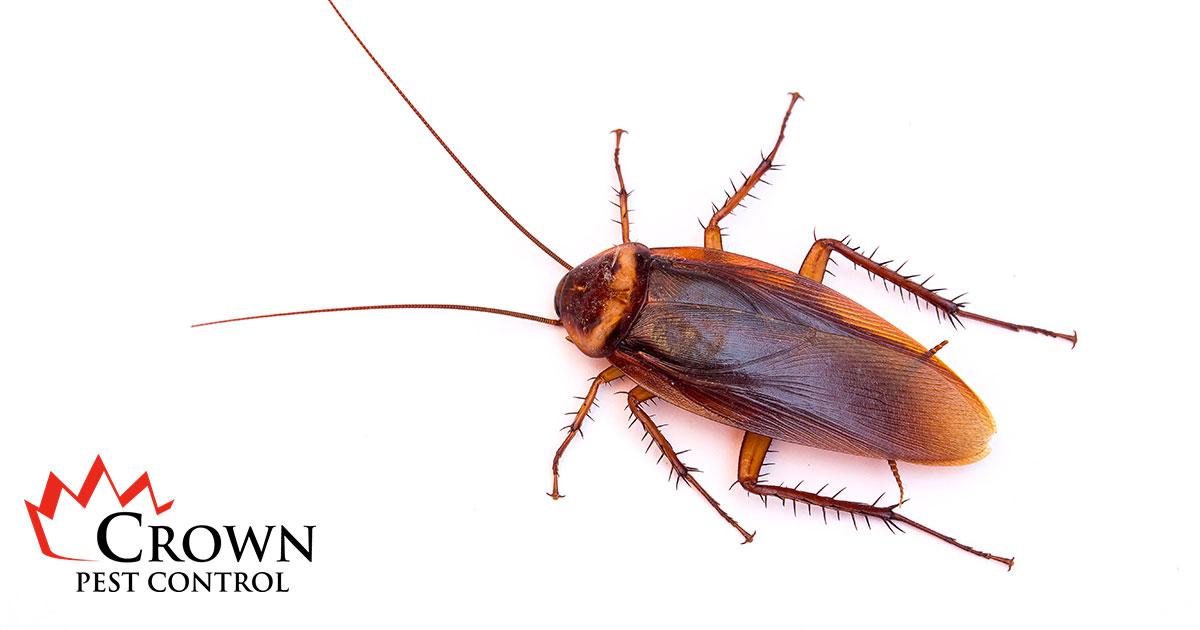 picture of a palmetto bug